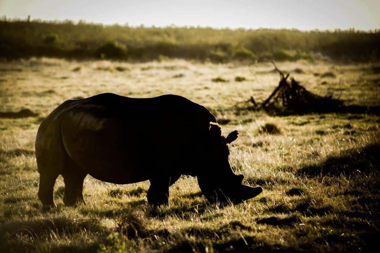 Black Rhino in South Africa