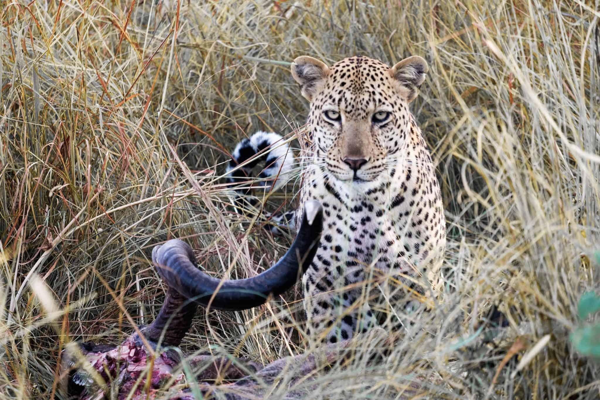 Leopards in Kafue National Park
