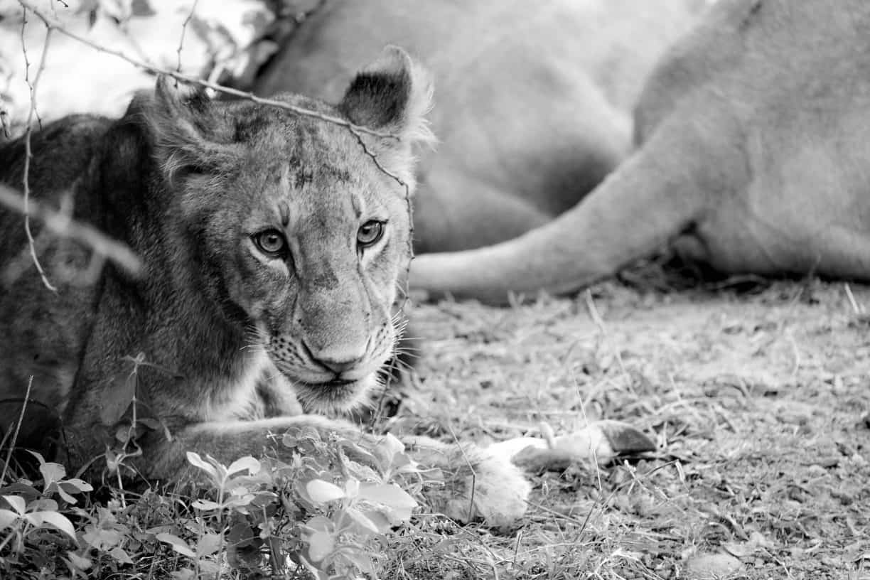 Lions in Ruaha