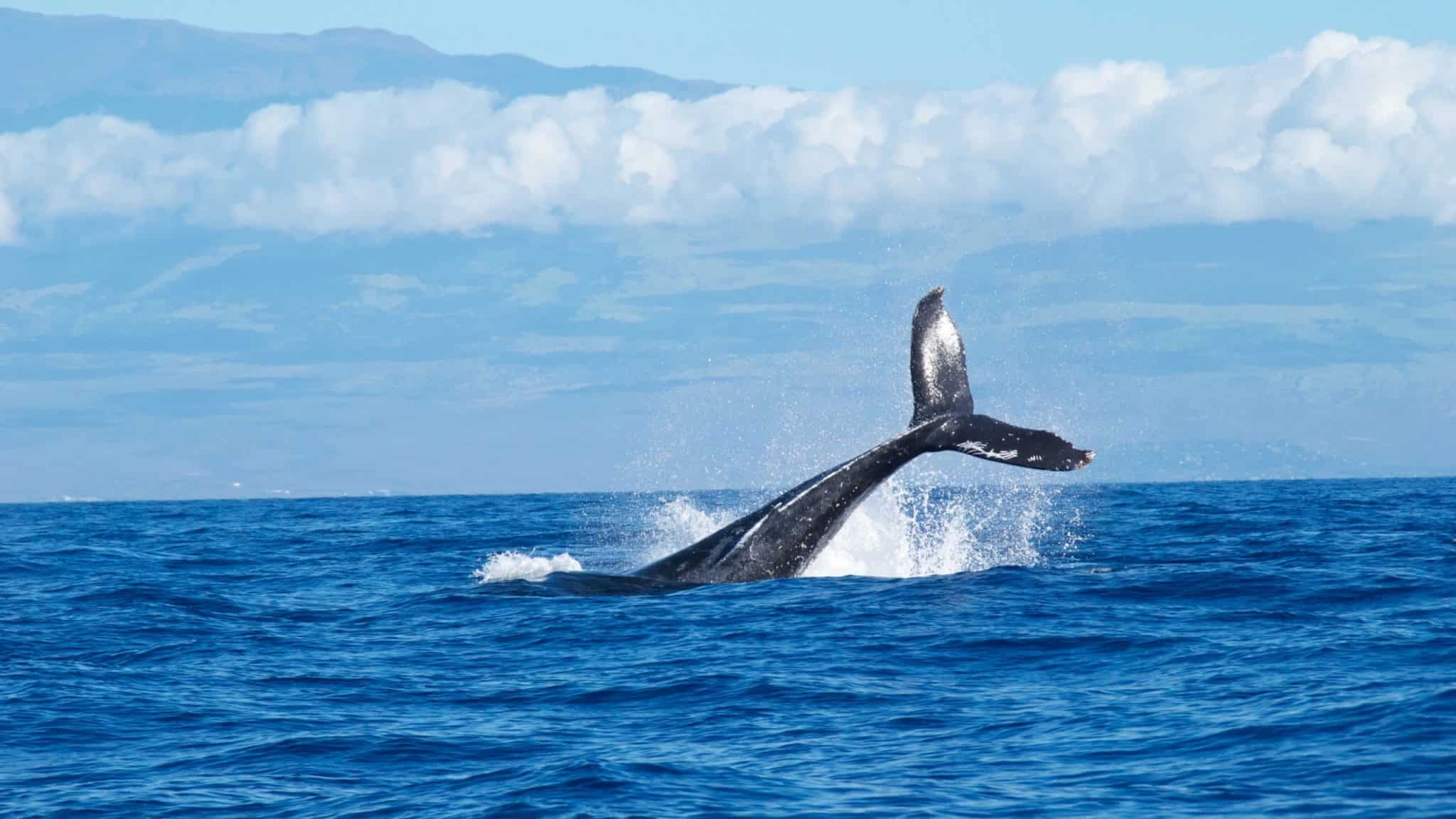 Whale Watching Things to do in Maui