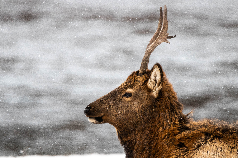 Elk in winter in Banff