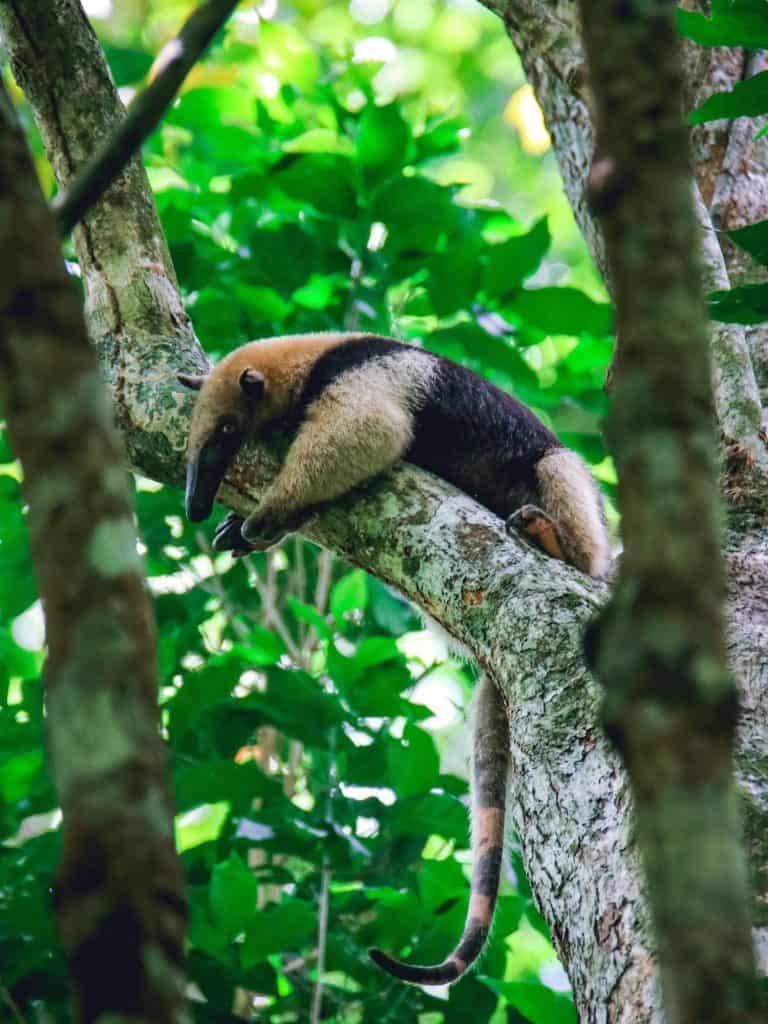 Travel In Costa Rica - Anteater