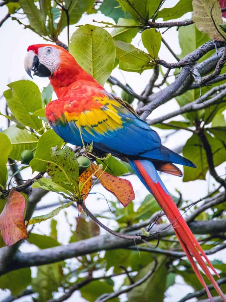 Travel In Costa Rica - Scarlett Macaw