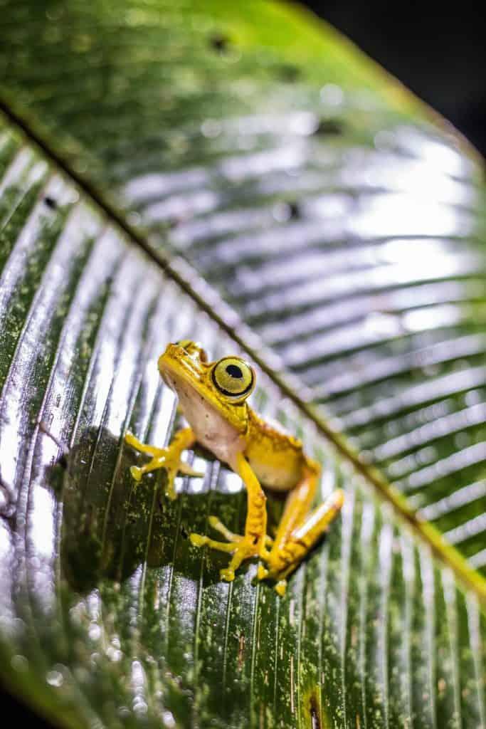 Mashpi Lodge - Night Walk - Tree Frog