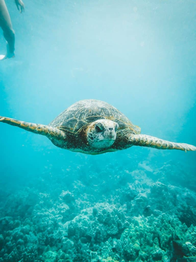 Things to do in Maui - Swim with sea turtles 2