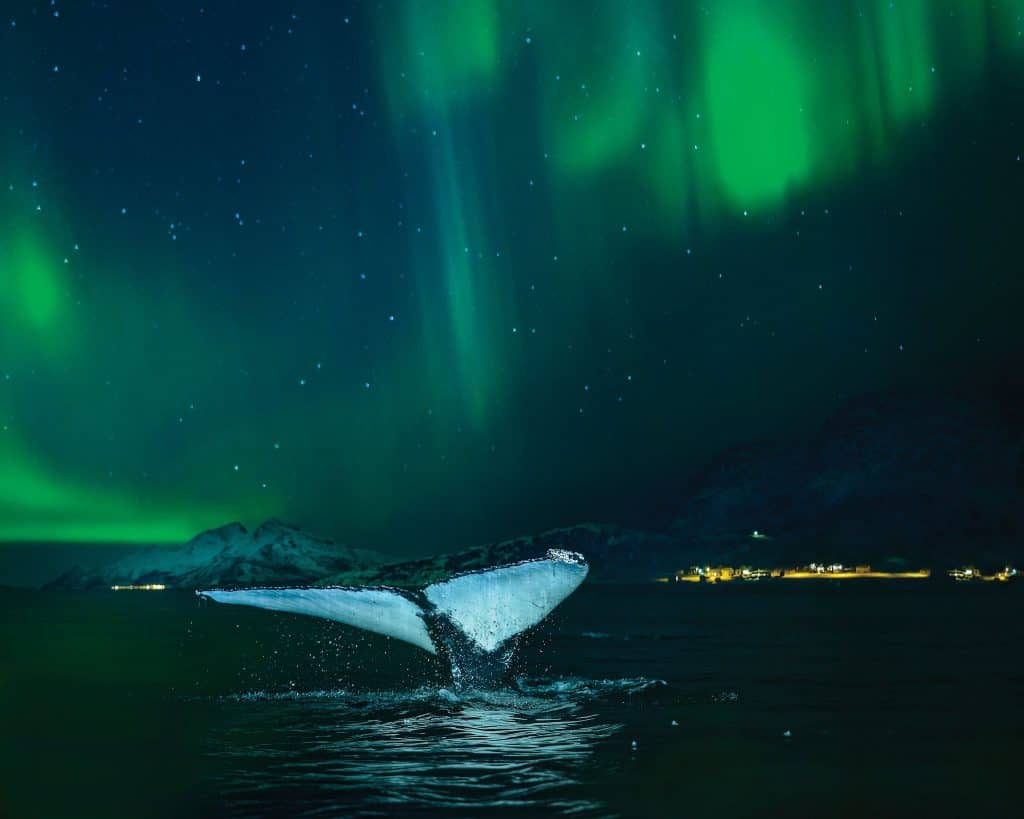Northern Lights Cruise - Whale