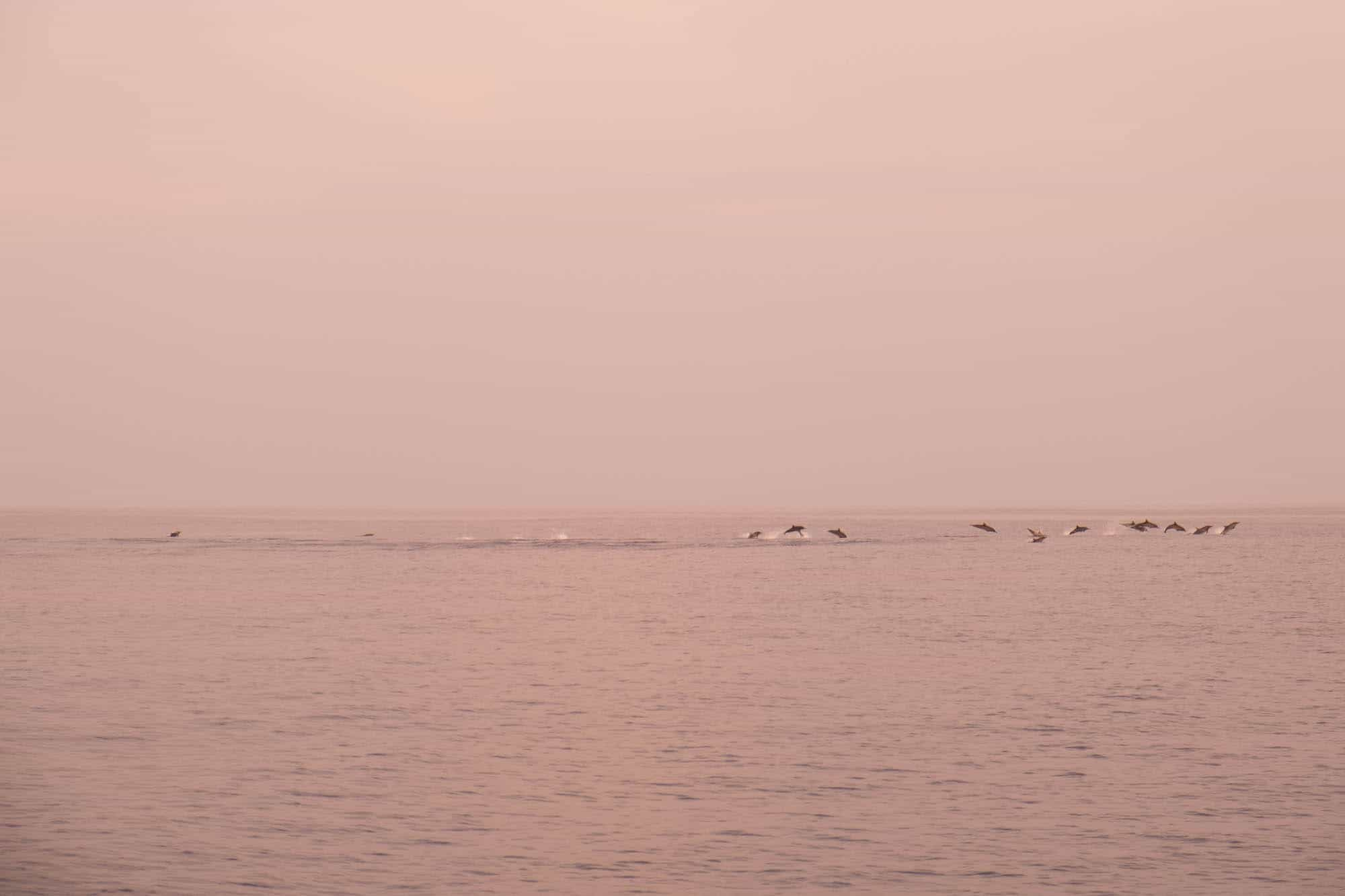 Dolphins in Maldives