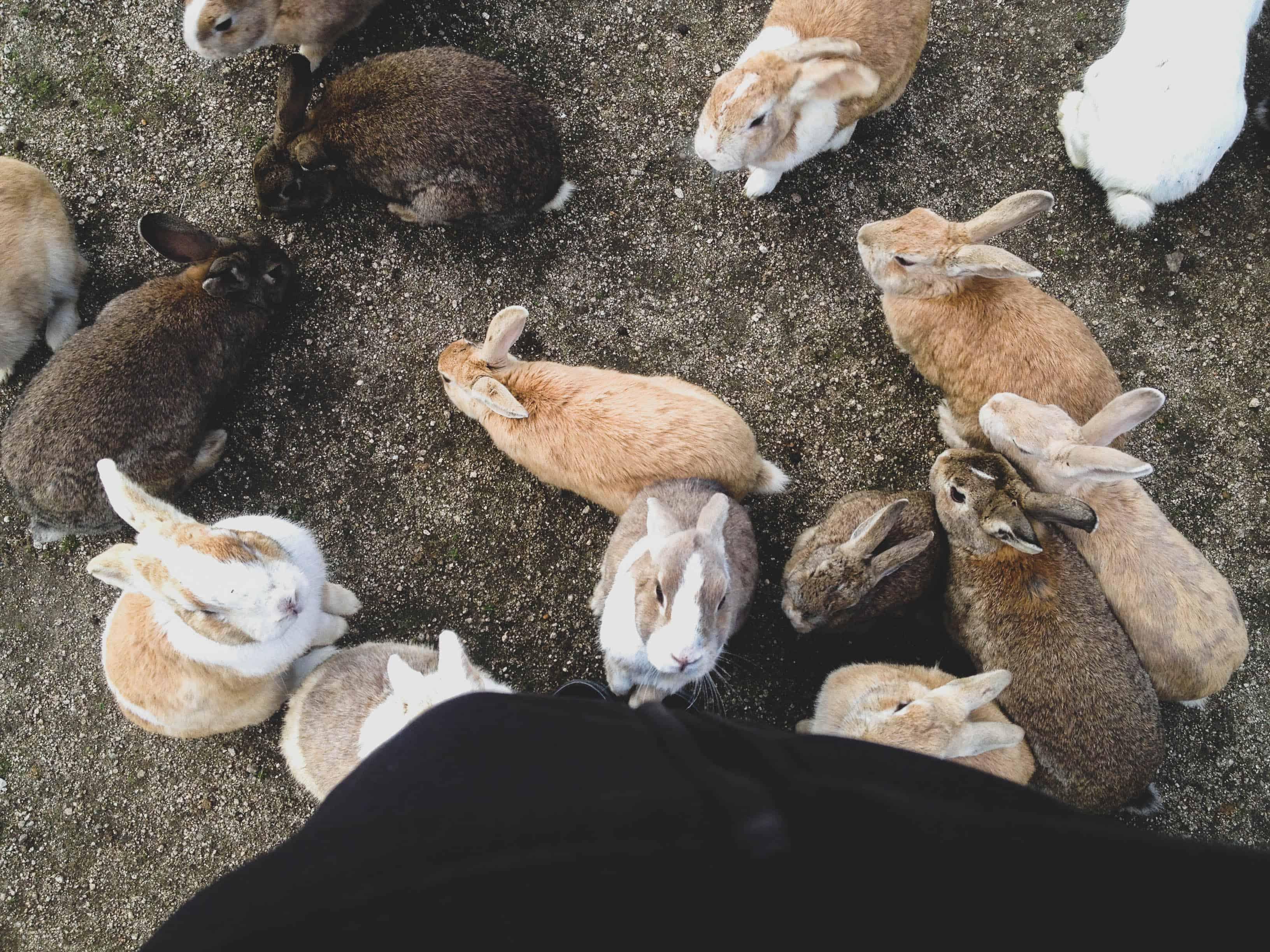 Bunny Island Japan