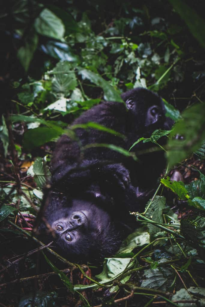 See the mountain gorillas