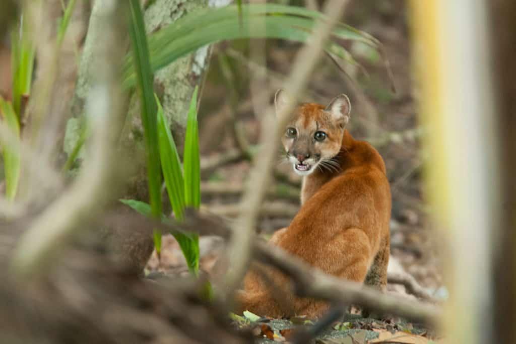 Puma-cub-Corcovado