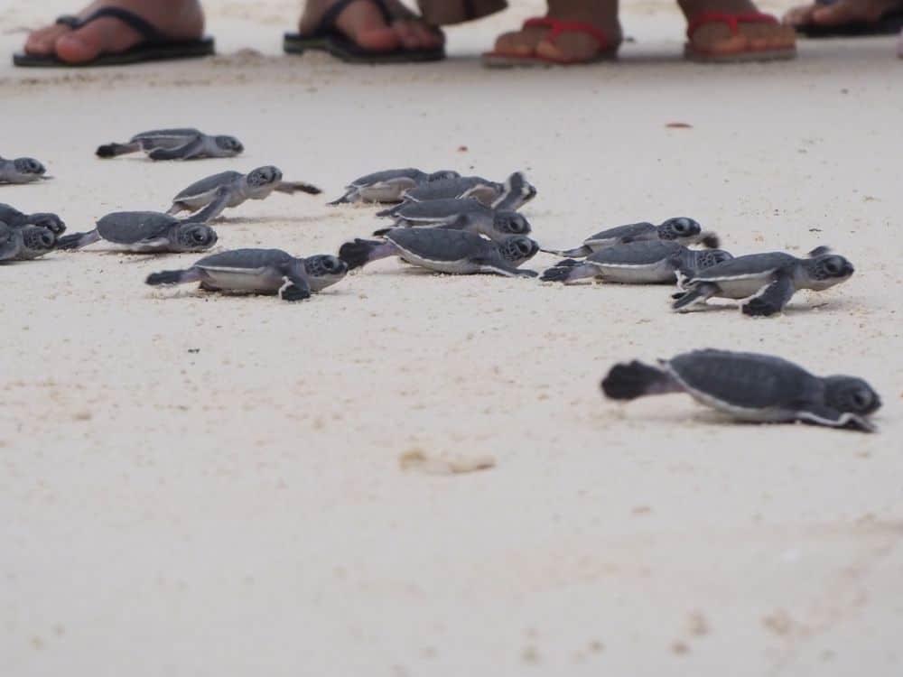 Sea Turtles in Borneo