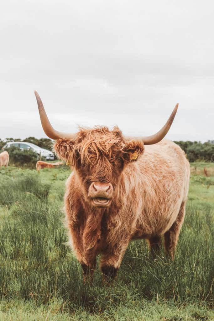 highland coos in Scotland