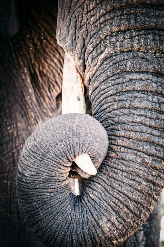 Elephant in Chobe