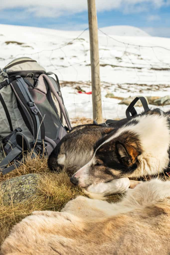 Sleeping Sled Dog — Winter in Norway