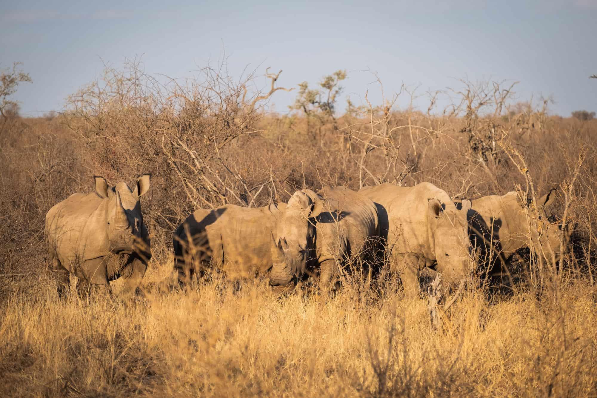 Rhinos on Madikwe Reserve