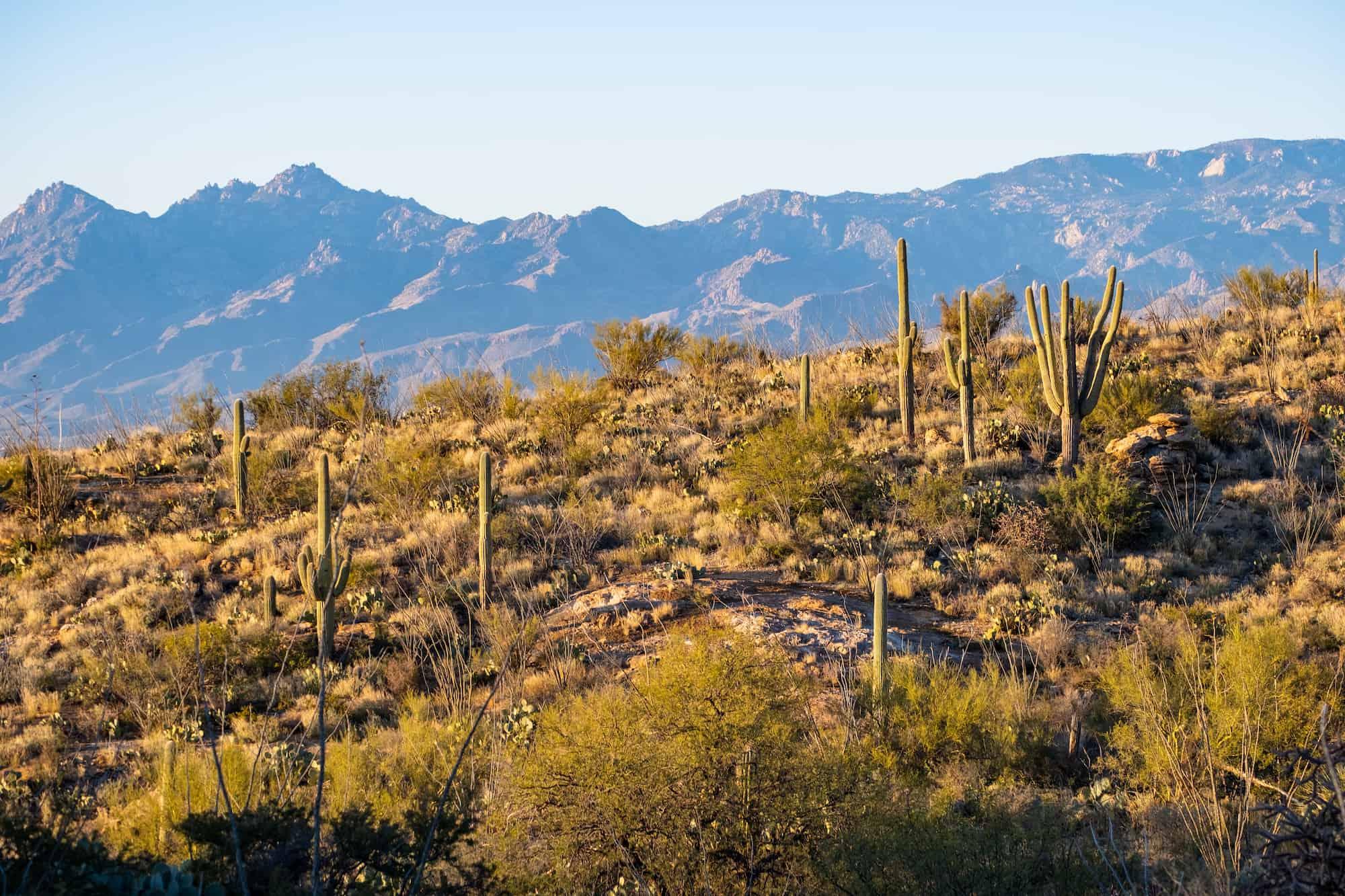 Saguaros Weekend in Tucson