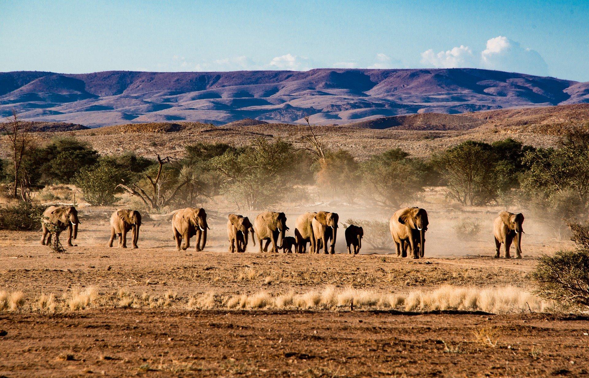 Etosha Elephants Crossing Dry Pan