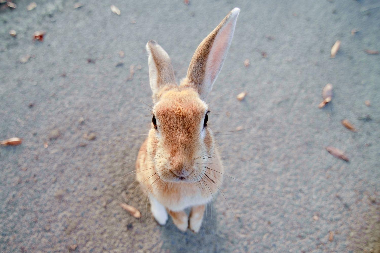 bunny island in japan