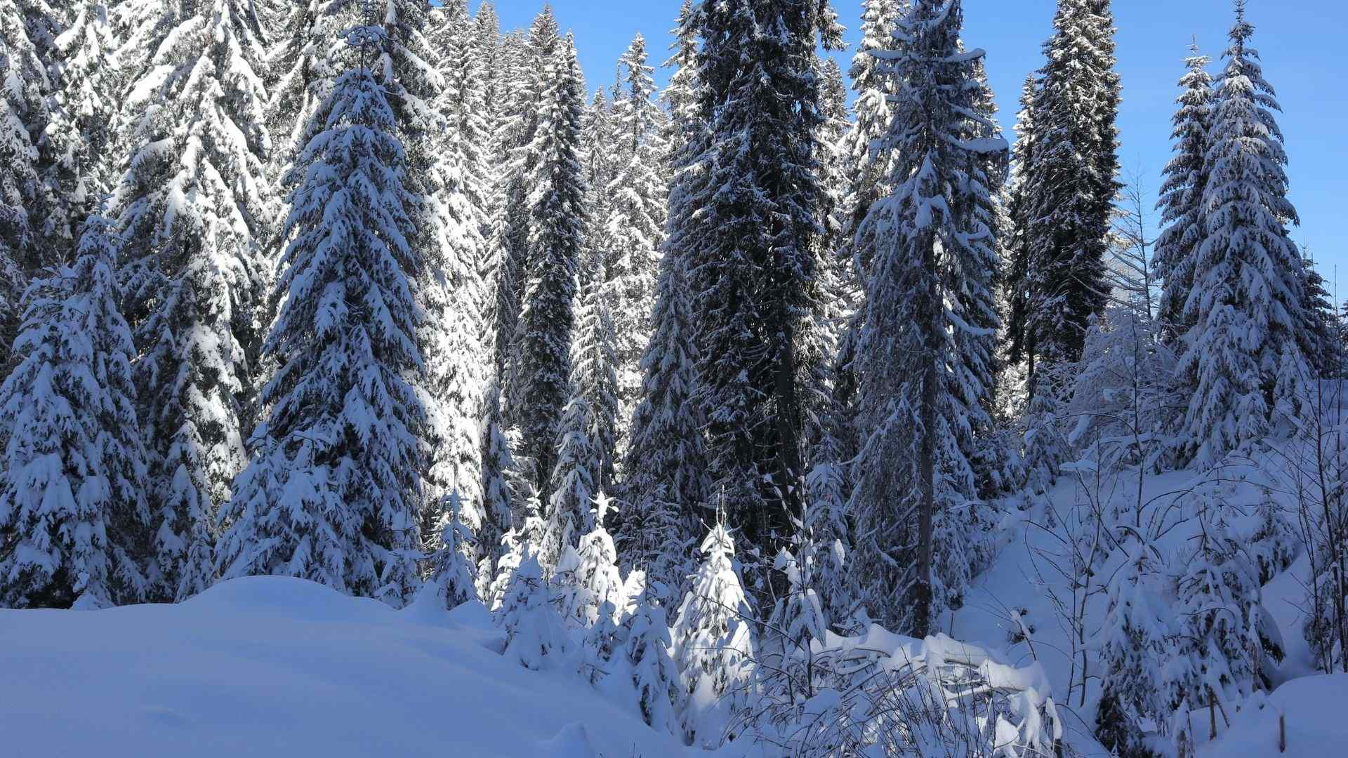 Hiking in snow- snowy forest
