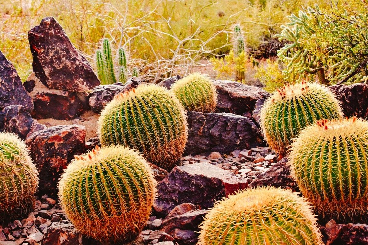 Round cacti at the Desert Botanical Garden in Phoenix, Arizona