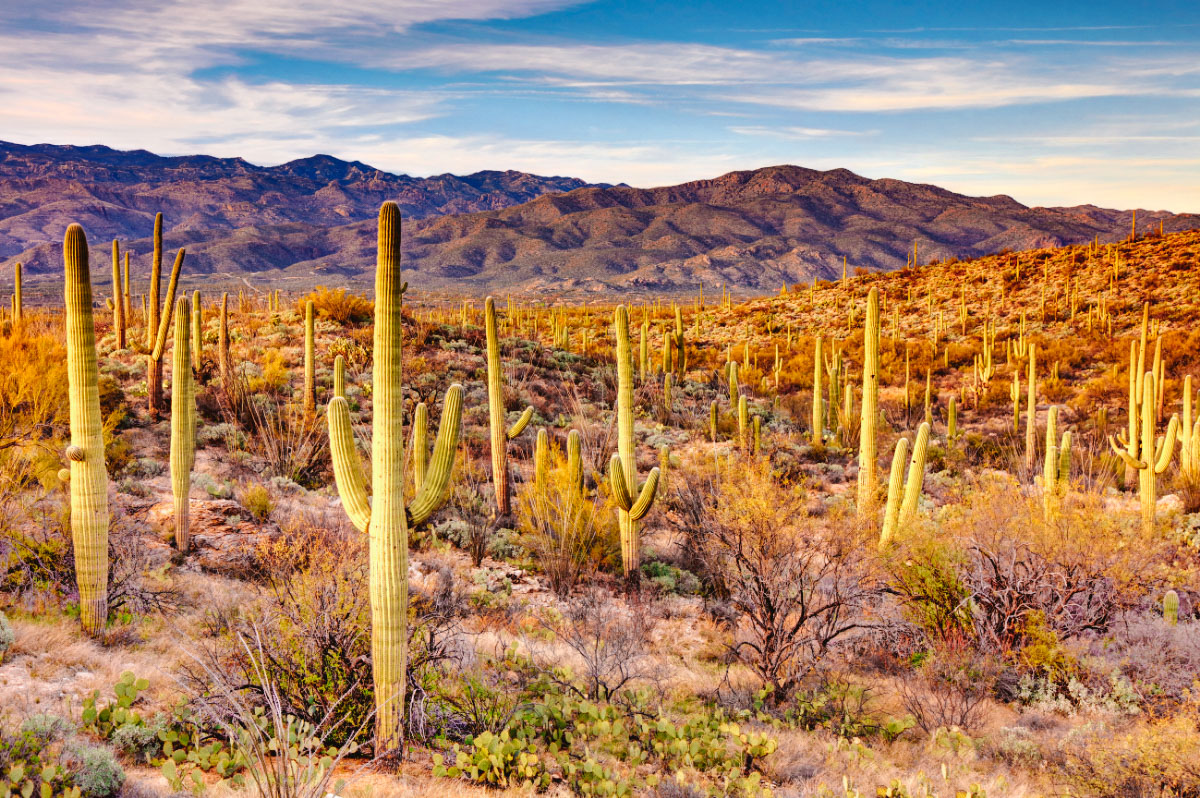 Expanse of cacti at Saguaro National Park near Tucson