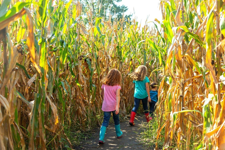Kids walking through corn maze