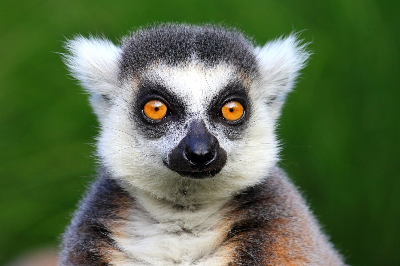 Lemur portrait close up of face