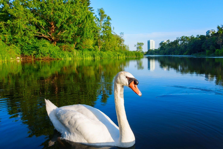 Swan in High Park